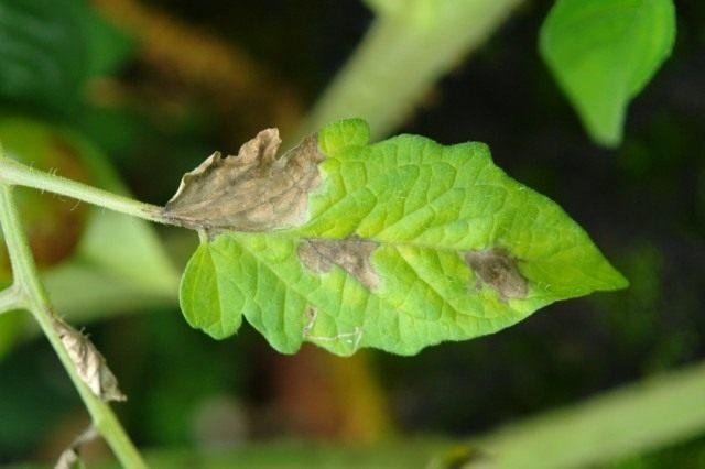 Лист томата пораженный фотофторозом