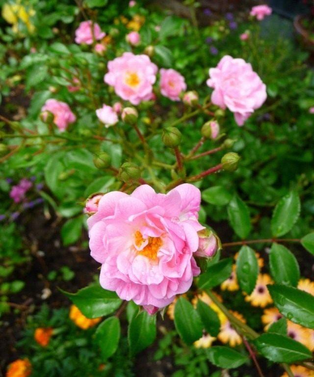 Роза «Фэйри» (The Fairy)