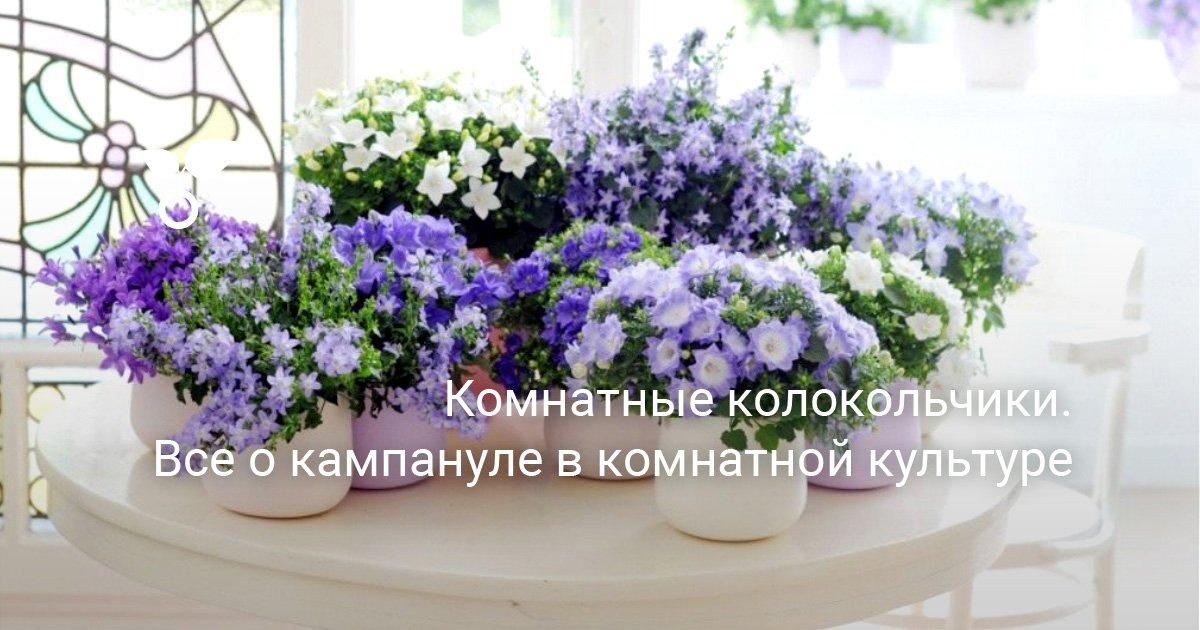 Домашние цветы комнатные колокольчики