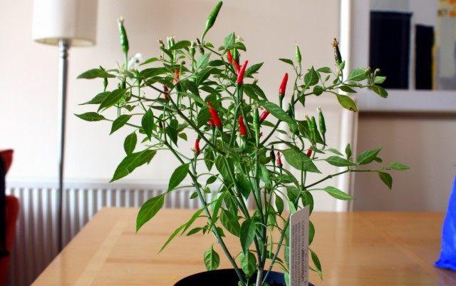 Перец чили можно выращивать и в доме