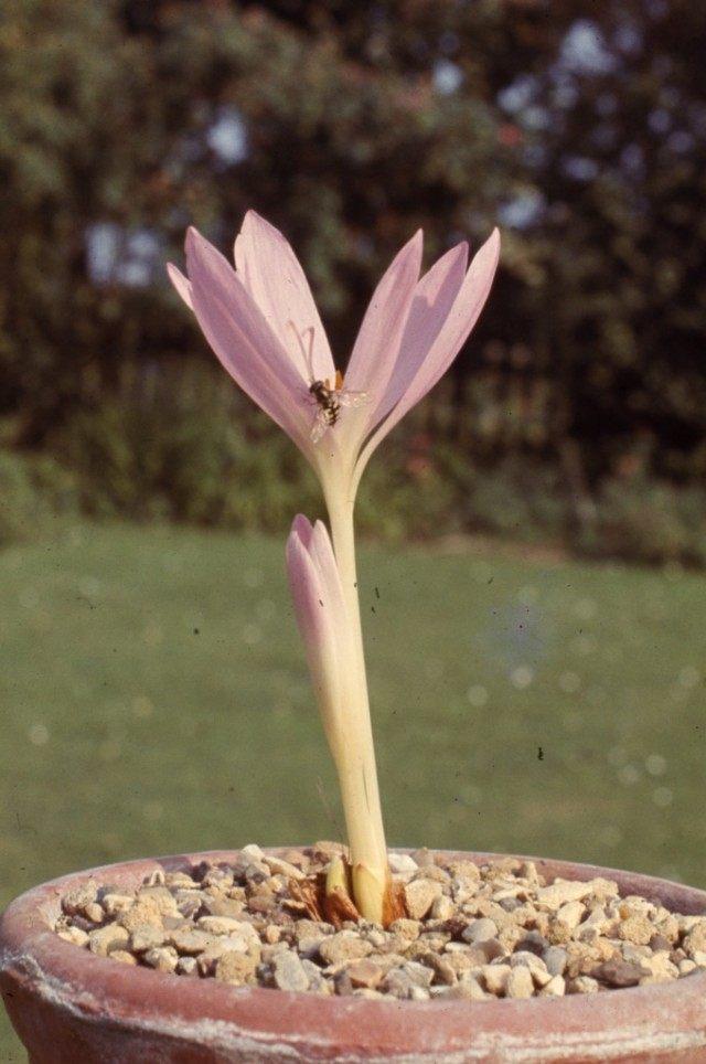 Безвременник Сибторпа (Colchicum sibthorpii)