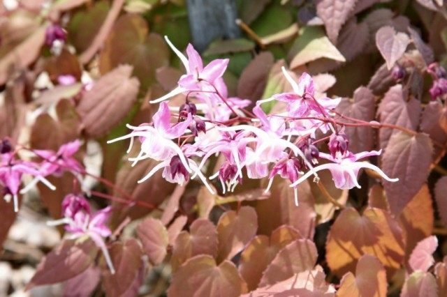 Эпимедиум крупноцветковый 'Dark Beauty'