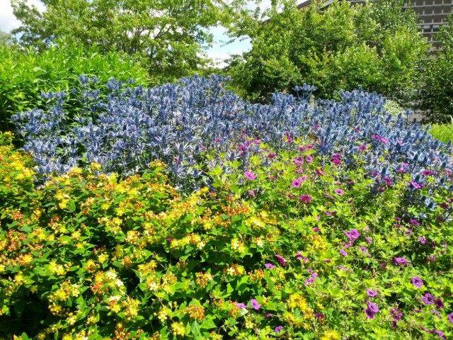 Синеголовник в цветнике