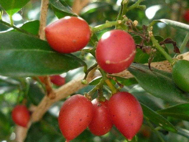 Плоды Муррайи метельчатой