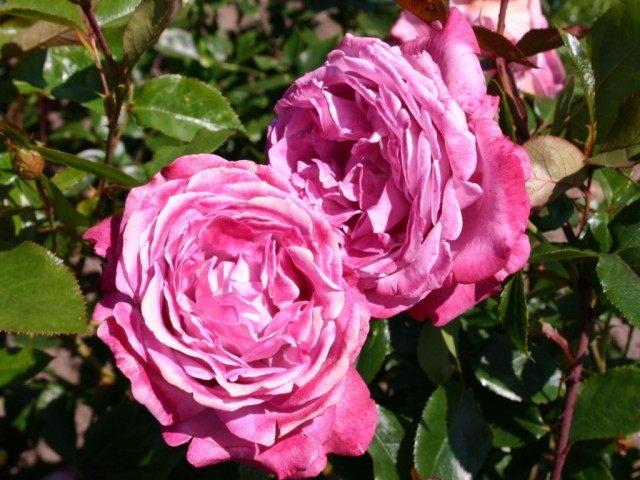 Роза 'Blue River'