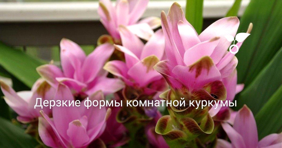 Растение куркума 44 фото что это такое и как выглядит комнатный цветок Выращивание в домашних условиях Как ухаживать за растением после посадки семян в горшок