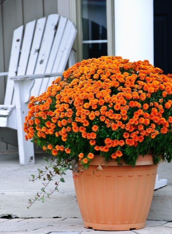 Горшечная хризантема