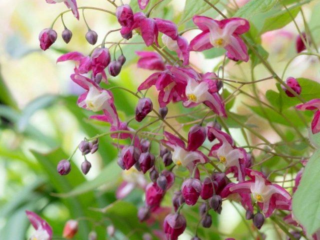 Горянка, или Эпимедиум красный (Epimedium x rubrum)