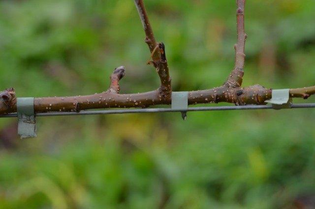 Молодая ветвь яблони