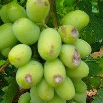 Белая гниль винограда