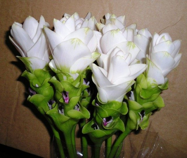 Цветы Куркумы цедоария