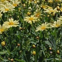 Аргирантемум мадерский (Argyranthemum maderense)