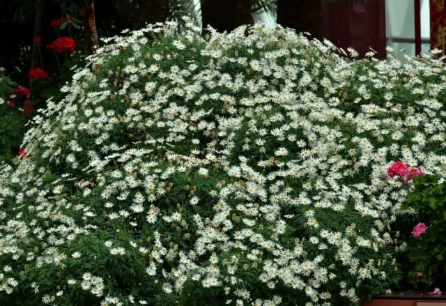 Аргирантемум кустарниковый, хризантема кустарниковая (Argyranthemum frutescens)