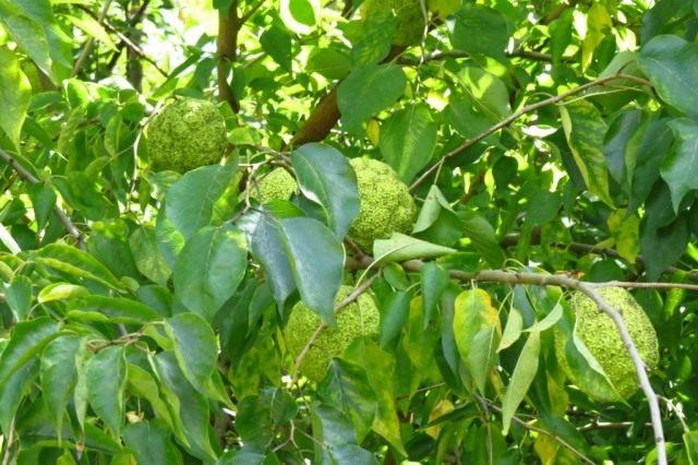 Маклюра оранжевая, или маклюра яблоконосная (Maclura pomifera)