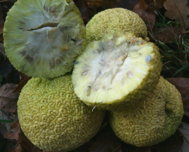 Плод Маклюры в разрезе