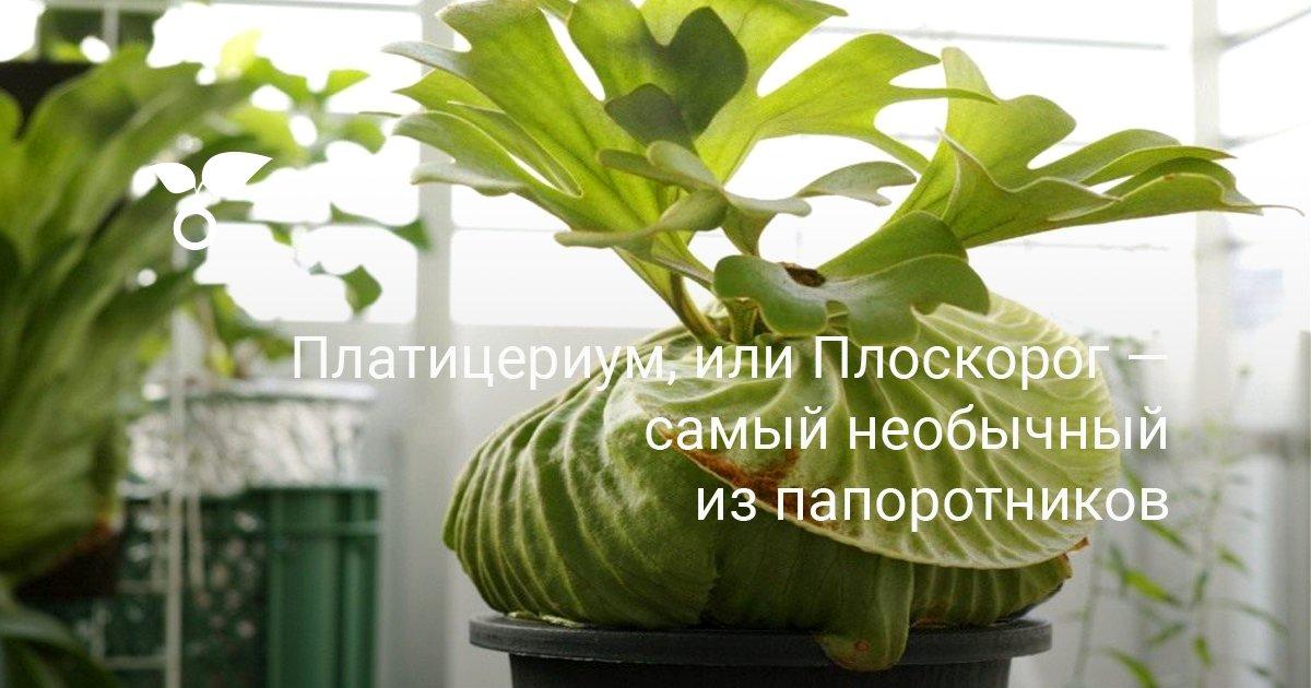 Цветок Платицериум уход и размножение в домашних условиях