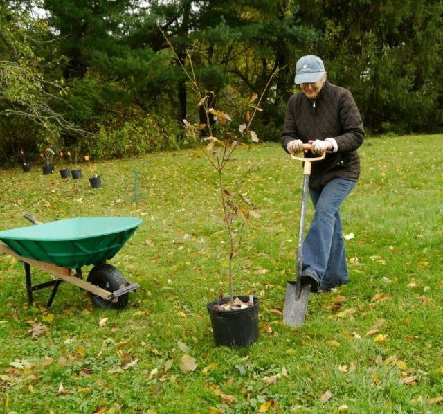 Высаживаем молодые деревья и кустарники.