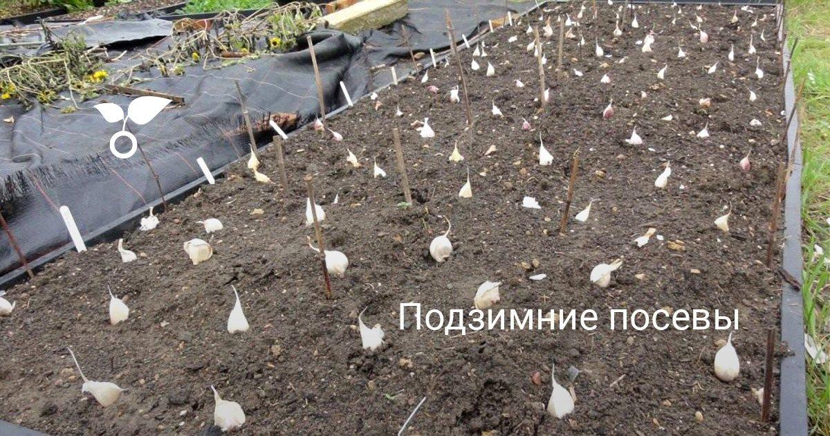 Салат посадка и уход в открытом грунте под зиму