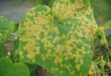 Пероноспороз, или ложная мучнистая роса на листе огурца