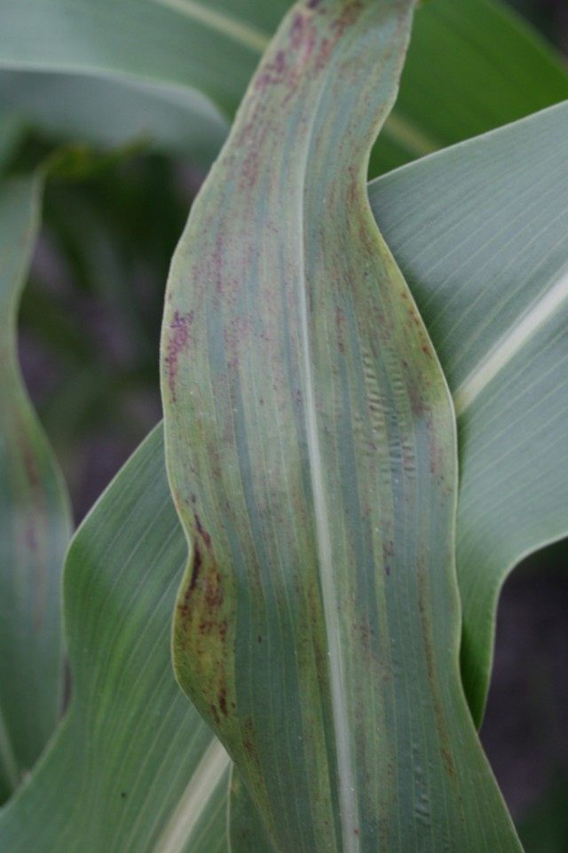 Ложная мучнистая роса на кукурузе