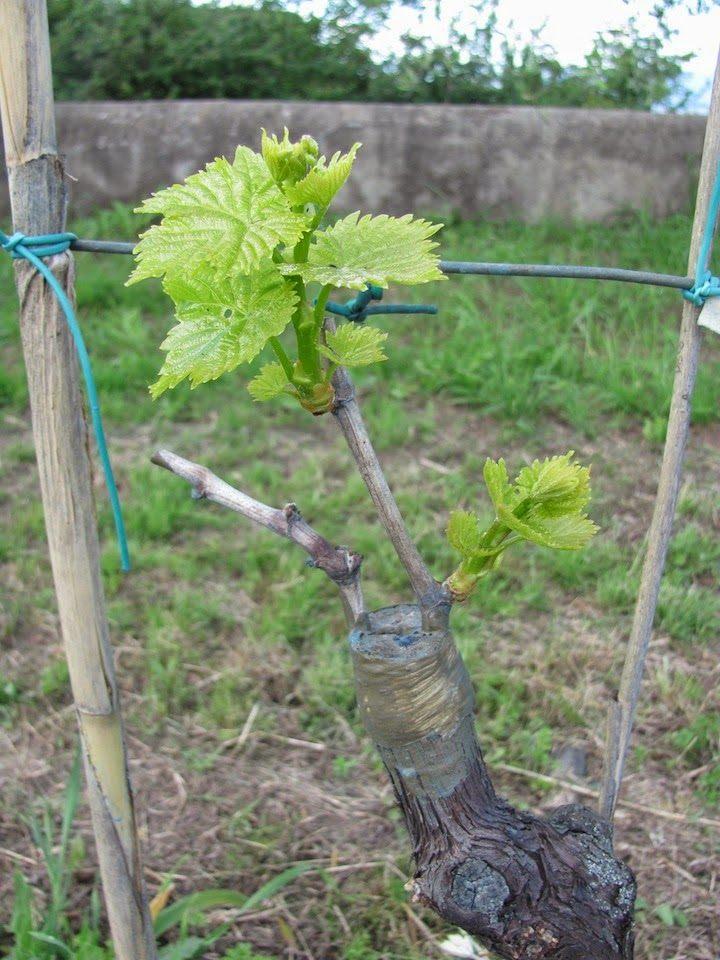 Размножение винограда прививкой.