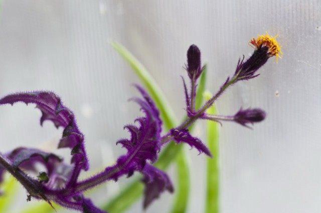 Гинура оранжевая (Gynura aurantiaca)