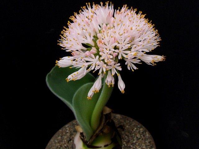 Гемантус приземистый (Haemanthus humilis)