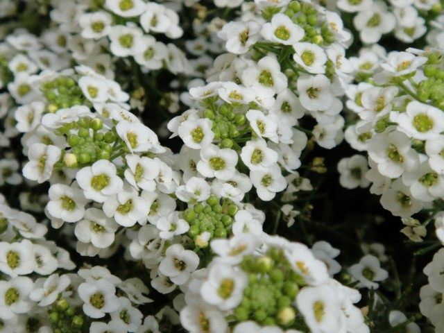 Лобулярия морская, или Газонница приморская (Lobularia maritima)