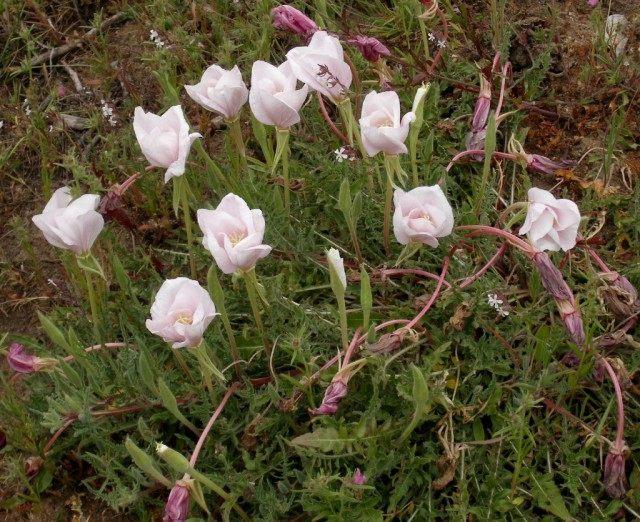 Ослинник бесстебельный, или Энотера бесстебельная (Oenothera acaulis)