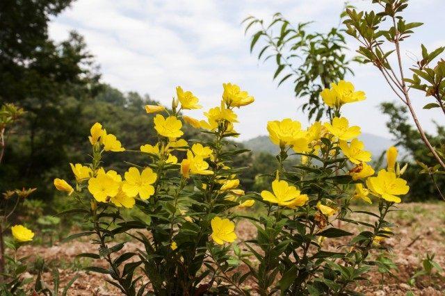 Ослинник кустарниковый, или Энотера кустарниковая (Oenothera fruticosa)