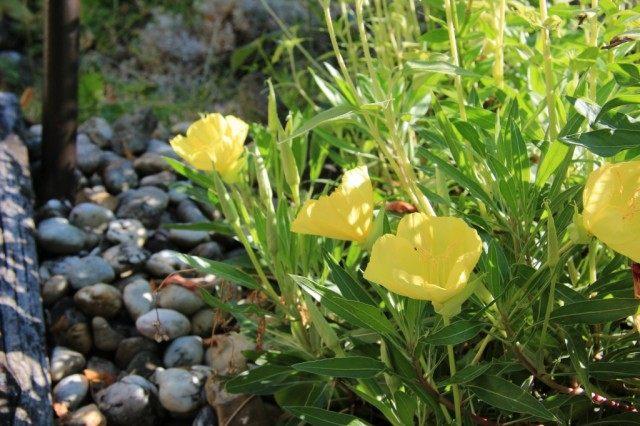 Ослинник миссурийский, или Энотера миссурийская (Oenothera missouriensis)