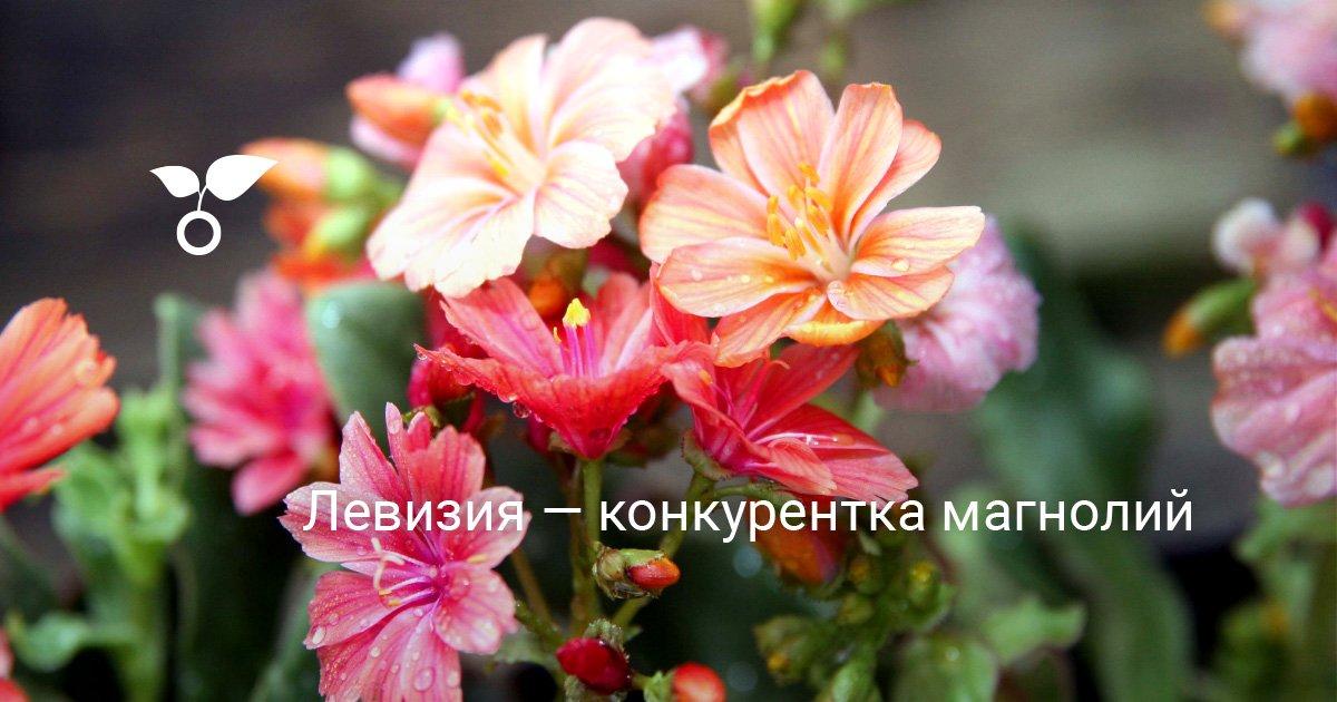 Дивизия цветок