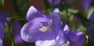 Колокольчик карпатский (Campanula carpatica)