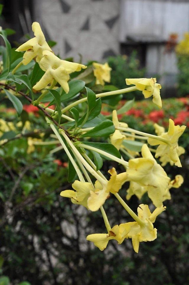 Брунфельсия американская (Brunfelsia americana)