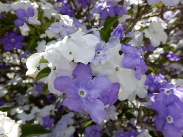 Брунфельсия широколистная (Brunfelsia latifolia)