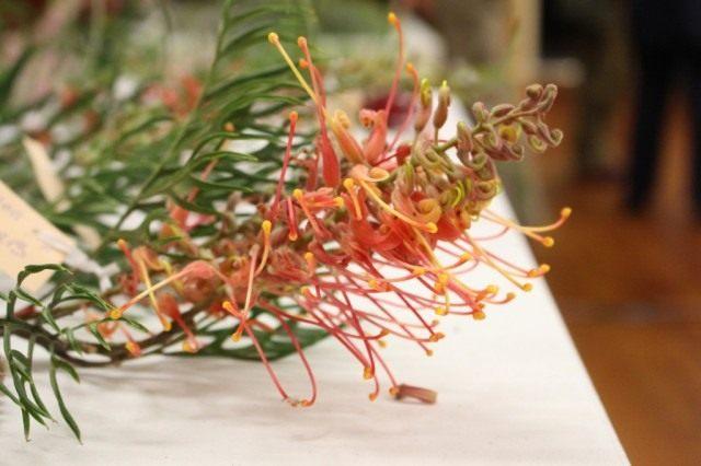Цветки Гревиллеи