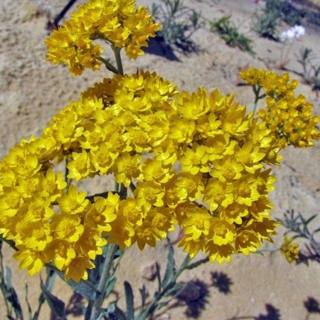 Гелиптерум Гумбольда (Helipterum humboldtiana)