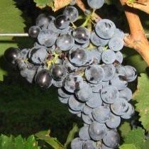 Саперави — сорт винограда