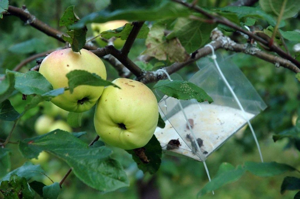 Как бороться с вредителями яблони