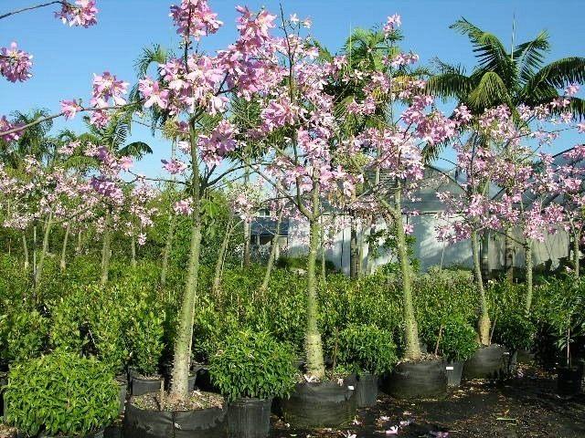 Ceiba-speciosa-10