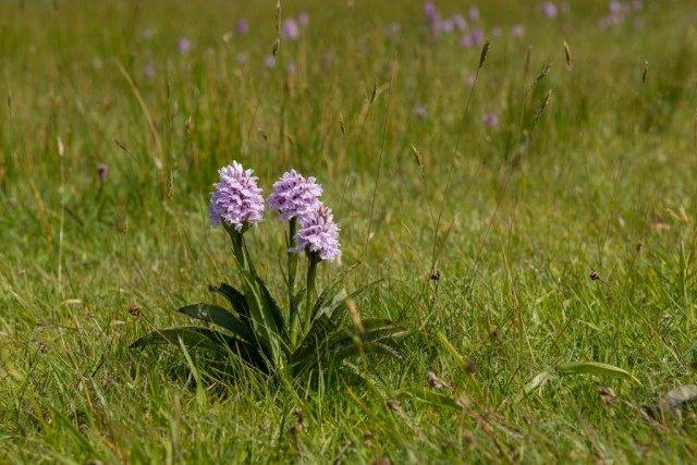 Вид Orchis maculata (Ятрышник пятнистый, или Ятрышник крапчатый) в настоящее время входит в синонимику вида Пальчатокоренник пятнистый, или Пальчатокоренник крапчатый (Dactylorhiza maculata)