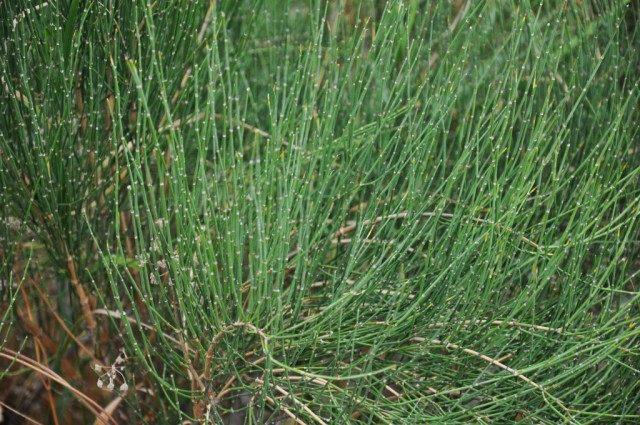 Хвойник хвощёвый, или Эфедра хвощёвая (Ephedra equisetina)