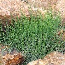 Хвойник карликовый, или Эфедра карликовая (Ephedra minuta)