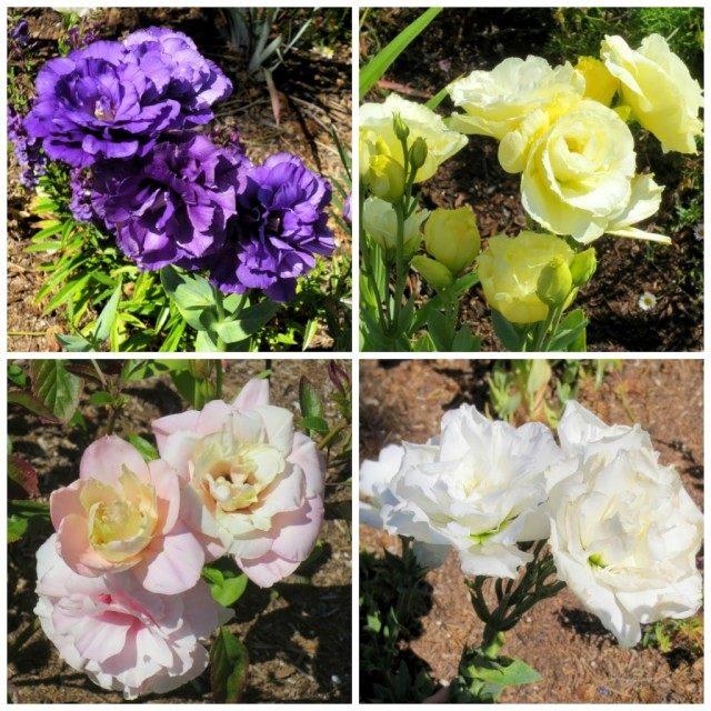 Разнообразие расцветок эустомы