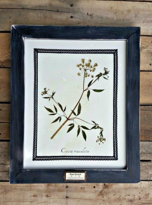 Гербарий из Вёха пятнистого (Cicuta maculata)