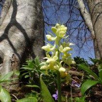 Ятрышник бледный (Orchis pallens)