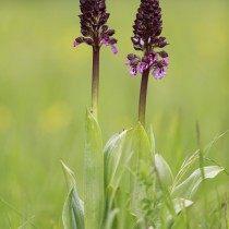 Ятрышник пурпурный (Orchis purpurea)