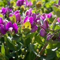 Истод миртолистный (Polygala myrtifolia)