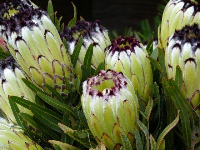 Цветы протеи