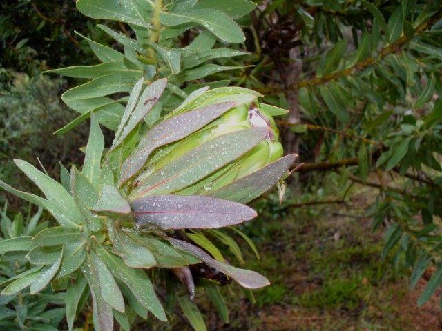 Протея крупноголовая (Protea coronata)